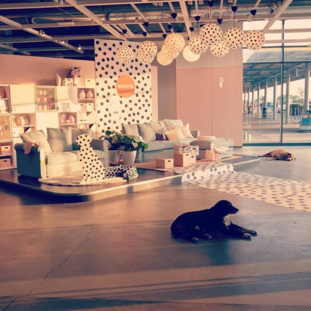 Pups at IKEA