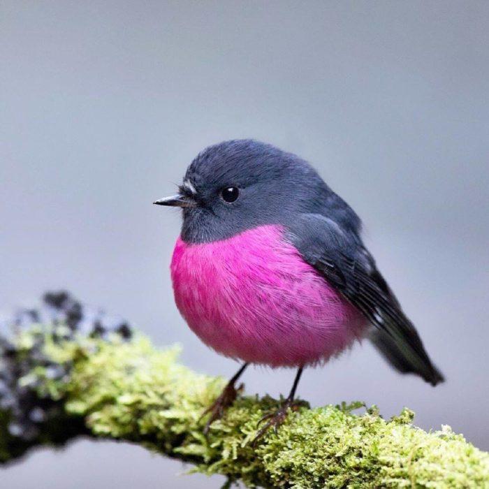 Pink Robin